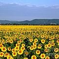 World Of Sunflowers by Amalia Suruceanu