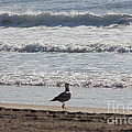 Wounded Seagull 4 Seagulls Birds Photos Beach Beaches Sea Ocean Oceanview Scenic Seaview Art Pics by Pictures HDR
