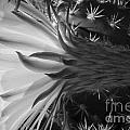 Woven Flower Bw by Darcy Michaelchuk