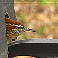 Wren Peeking Out by Debbie Portwood
