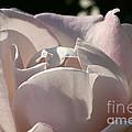 Wwii Memorial Rose by Susan Herber