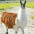 Wyoming Llama - El Tuffo by Lenore Senior