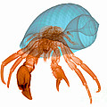 X-ray Of Hermit Crab by Ted Kinsman