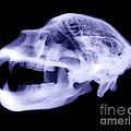X-ray Of Kodiak Bear Skull by Ted Kinsman