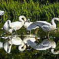 Y-m-c-a Swans by Brian Stevens