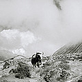 Yak In The Himalaya by Shaun Higson