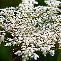 Yarrow Plant Flower Head  by U Schade