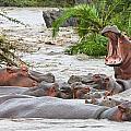 Yawning Hippo Hippopotamus Amphibius by Carson Ganci