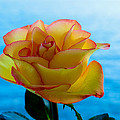 Yellow And Red Rose by Keith Allen