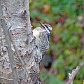 Yellow-bellied Sapsucker    Sphyrapicus Varius by Mother Nature