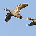 Yellow-billed Duck Anas Undulata Pair by Vincent Grafhorst