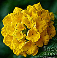 Yellow Blooms by Susan Herber
