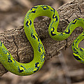 Yellow-blotched Palm Pitviper by Pete Oxford