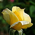 Yellow Bud by Susan Herber