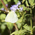 Yellow Butterfly Feeding On Violet Flower by Roena King