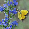 Yellow Cabbage Butterfly by Rodney Campbell