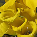 Yellow Calla Lilies by Alfred Ng