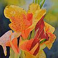 Yellow Canna by Cynthia Sexton