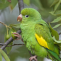 Yellow-chevroned Parakeet Brotogeris by Suzi Eszterhas