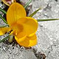 Yellow Crocus by Kim French