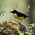 Yellow-crowned Euphonia by Heiko Koehrer-Wagner