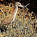 Yellow Crowned Night Heron by Joe Faherty