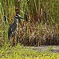 Yellow-crowned Night-heron by Roena King
