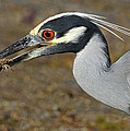Yellow Crowned Night Heron With Catch by Dave Mills