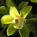 Yellow Cymbidium by Alfred Ng