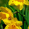 Yellow Daffodils And Honeybee by Kay Novy