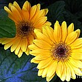 Yellow Dahlias by Dale   Ford