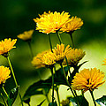 Yellow Daisies by Rich Franco