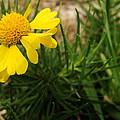 Yellow Daisy by Faye E Davis
