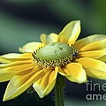Yellow Daisy by Teresa Zieba