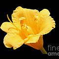 Yellow Day Lily On Black by Michael Waters
