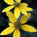 Yellow Duet by Sabrina L Ryan