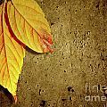 Yellow Fall Leafs by Carlos Caetano
