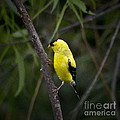 Yellow Finch - Artist Cris Hayes by Cris Hayes