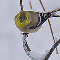 Yellow Finch Cold Snow by LeeAnn McLaneGoetz McLaneGoetzStudioLLCcom