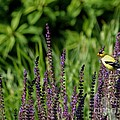 Yellow Finch by Living Color Photography Lorraine Lynch