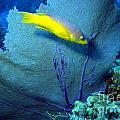Yellow fish and sea fan