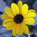 Yellow Flower 4 by Skip Nall