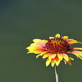 Yellow Flower by Alan Hutchins