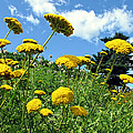 Yellow Flower Garden On A Grassy Slope Under A Blue Sky In A Summer Landscape In Ottawa by Chantal PhotoPix