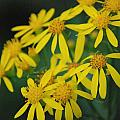 Yellow Flowers by Beth Gates-Sully