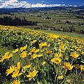 Yellow Flowers Blooming, Hood River by Natural Selection Craig Tuttle