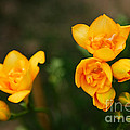 Yellow Flowers by Syed Aqueel