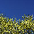 Yellow Flowers Tree by Daniel Kulinski