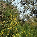 Yellow Flowers Under An Oak by Jim Goldseth