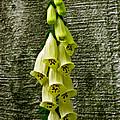 Yellow Foxglove Flowers by Debra     Vatalaro